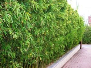 Bambous production vente de bambous nombreuses vari t s du nain au g ant - Vente de bambou en ligne ...