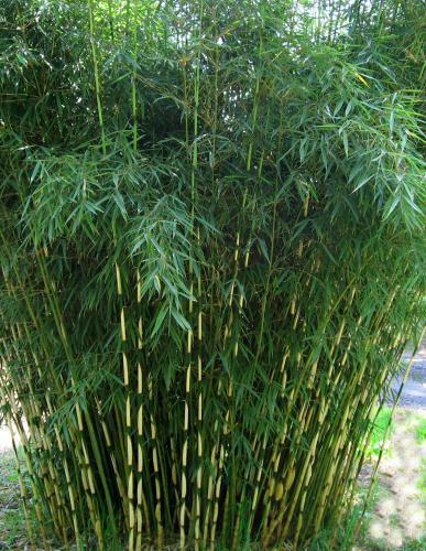 bambous production vente bambous page 2. Black Bedroom Furniture Sets. Home Design Ideas