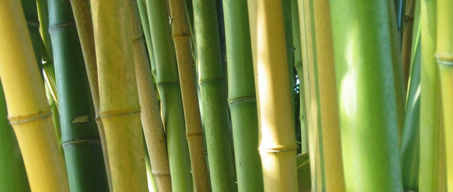 Bambou chaume